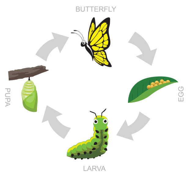 47 Cartoon Butterfly Caterpillar And Cocoon Illustrations Royalty