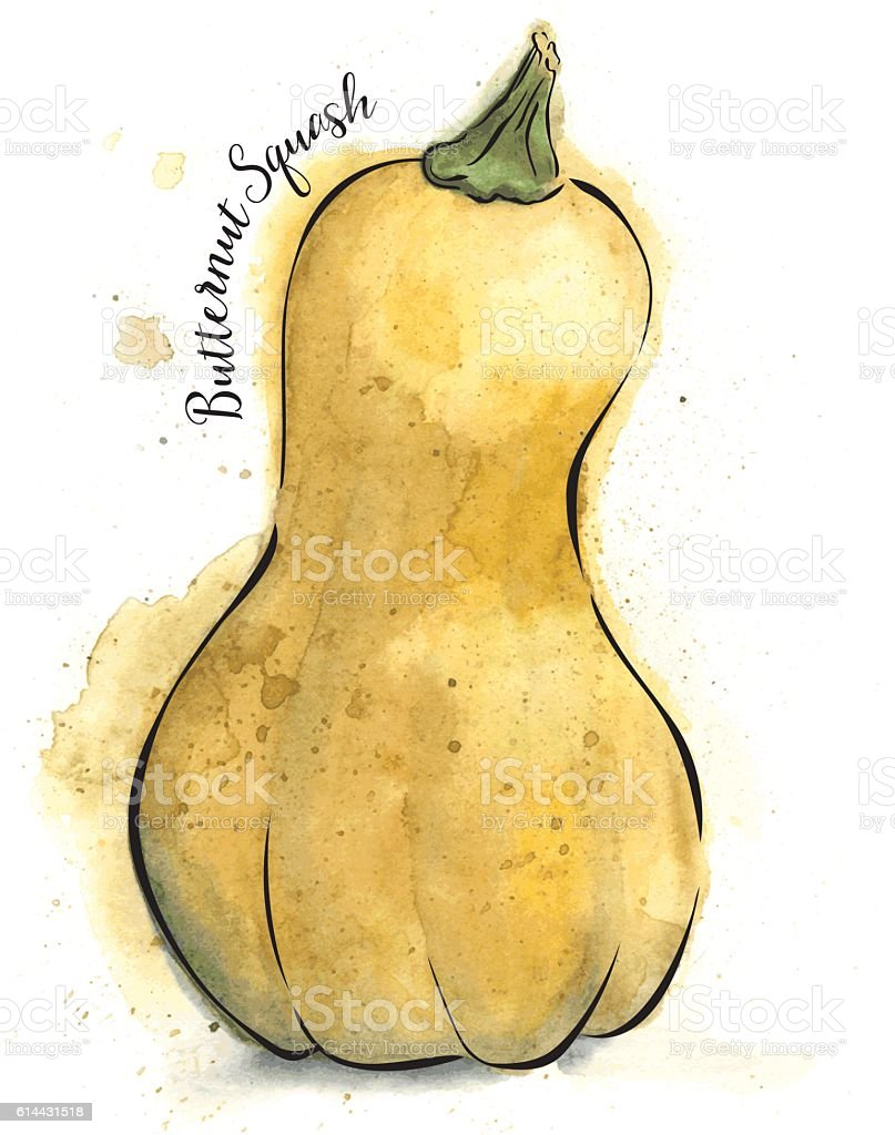 Butternut Squash Painted in Watercolor - Vector Illustration vector art illustration