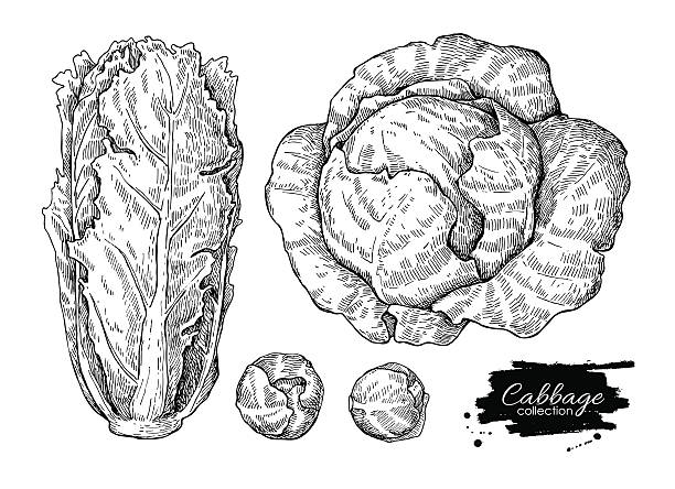 cabbage hand drawn vector illustrations set. - lettuce stock illustrations