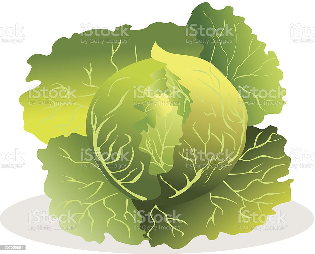 Cabbage vector illustration. royalty-free cabbage vector illustration stock vector art & more images of agriculture