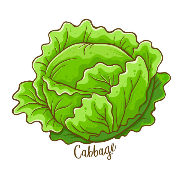 Cabbage Vegetable Hand Drawing Cabbage fresh natural vegetable, hand drawn vector illustration isolated cabbage stock illustrations