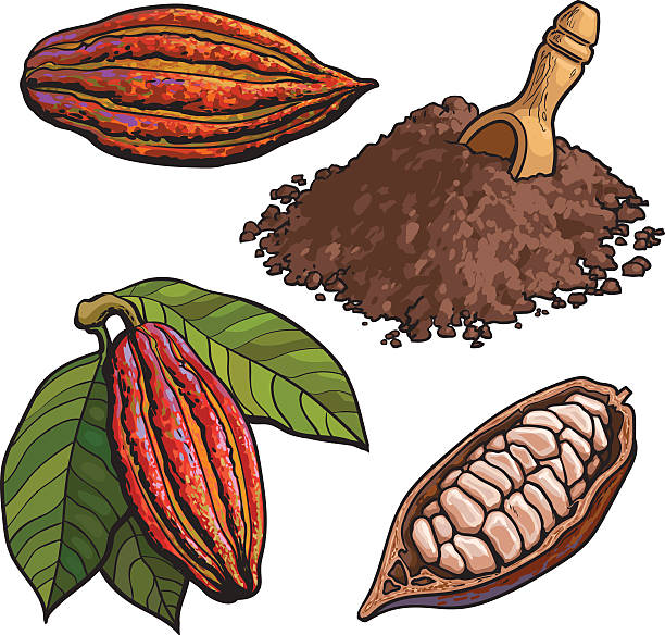 cacao fruit, beans and powder, set of style vector illustrations - plant pod stock illustrations