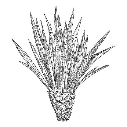 Cactus blue agave. Vintage black hatching illustration on white