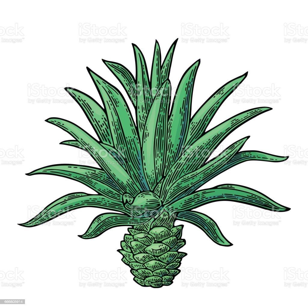 Agave cactus azul. Vector Vintage grabado ilustración para etiqueta, cartel - ilustración de arte vectorial