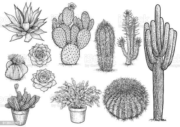 Cactus nad succulent illustration drawing engraving ink line art vector id913847282?b=1&k=6&m=913847282&s=612x612&h=xarumouhang944zz3owmreoerapgax9awjhmi2uqvae=