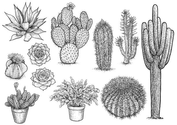 Line Drawing Cactus : Royalty free saguaro cactus clip art vector images