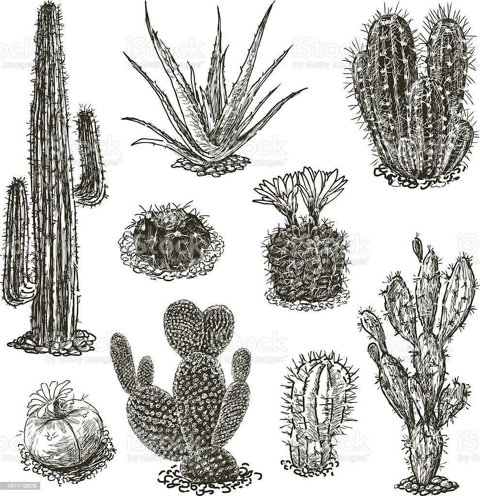 cactuses vector art illustration