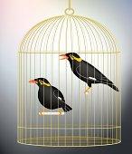 Caged myna birds