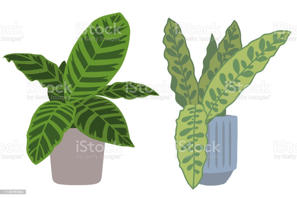 Calathea Zebrina And Lancifolia Two Popular Exotic Tropical House Plants In Pots Graphic Vector Illustration Also Called Marantaceae Or Prayer Plant Stock Illustration Download Image Now Istock