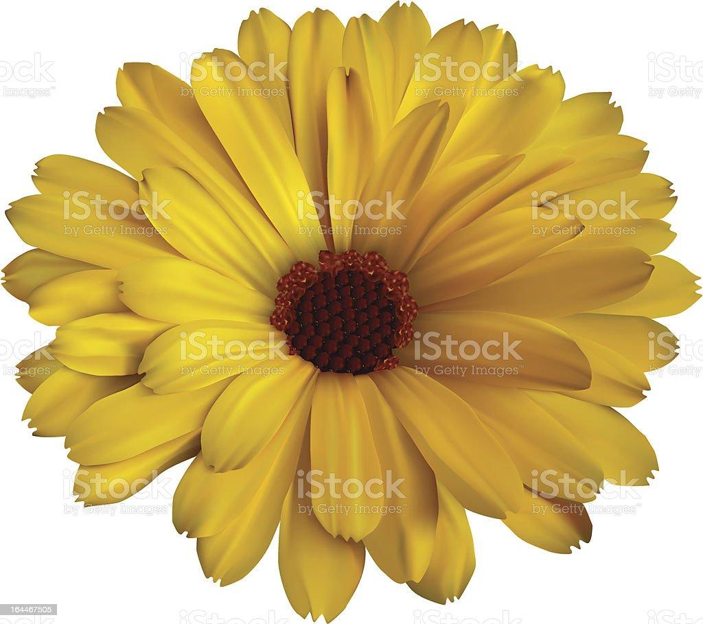 Calendula flower royalty-free stock vector art