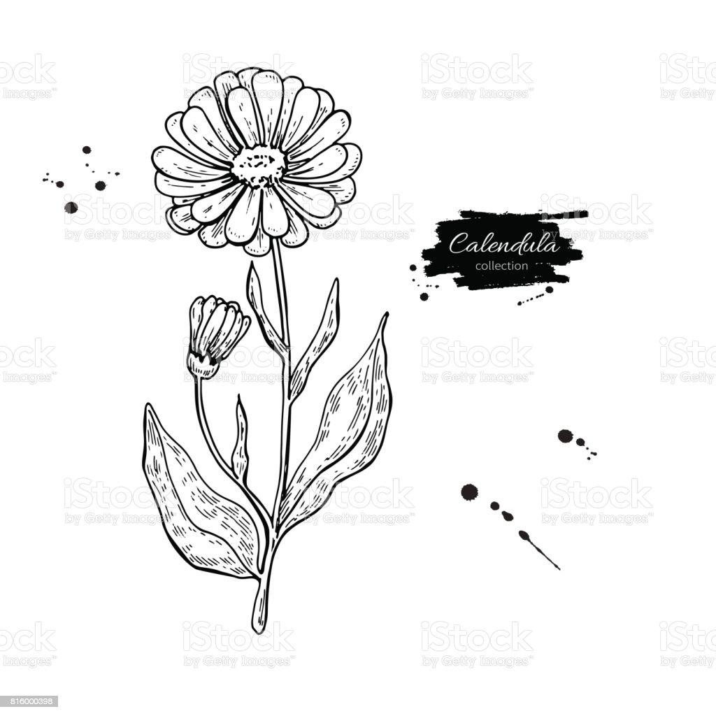 Top 60 Calendula Officinalis Clip Art, Vector Graphics and ... Calendula Flower Drawing