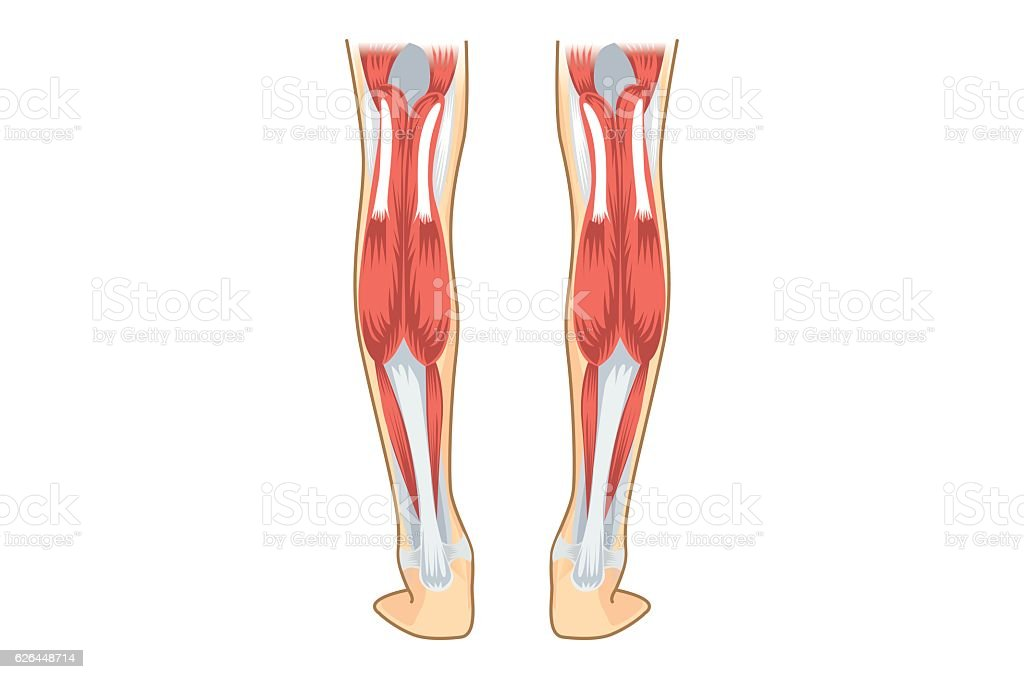 Calf Muscle of human. vector art illustration