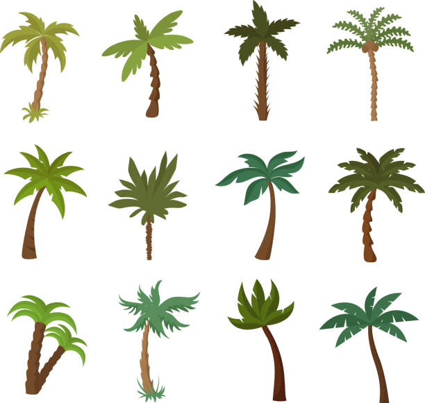 california palm trees. summer tropical plant vector set - palm tree stock illustrations