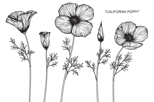 Hand drawing and sketch California poppy flower. Black and white with line art illustration.