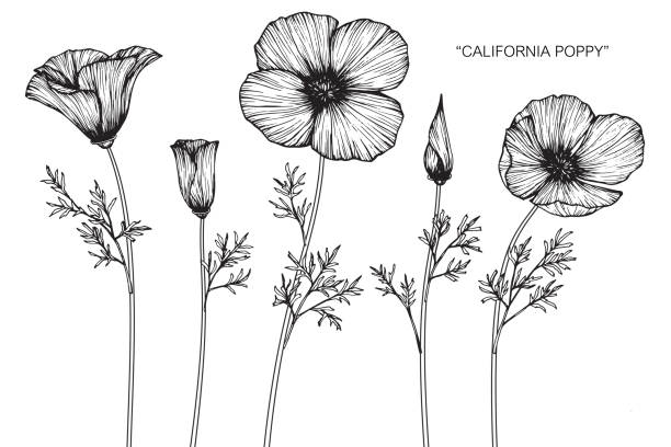 Royalty Free California Poppies Clip Art Vector Images