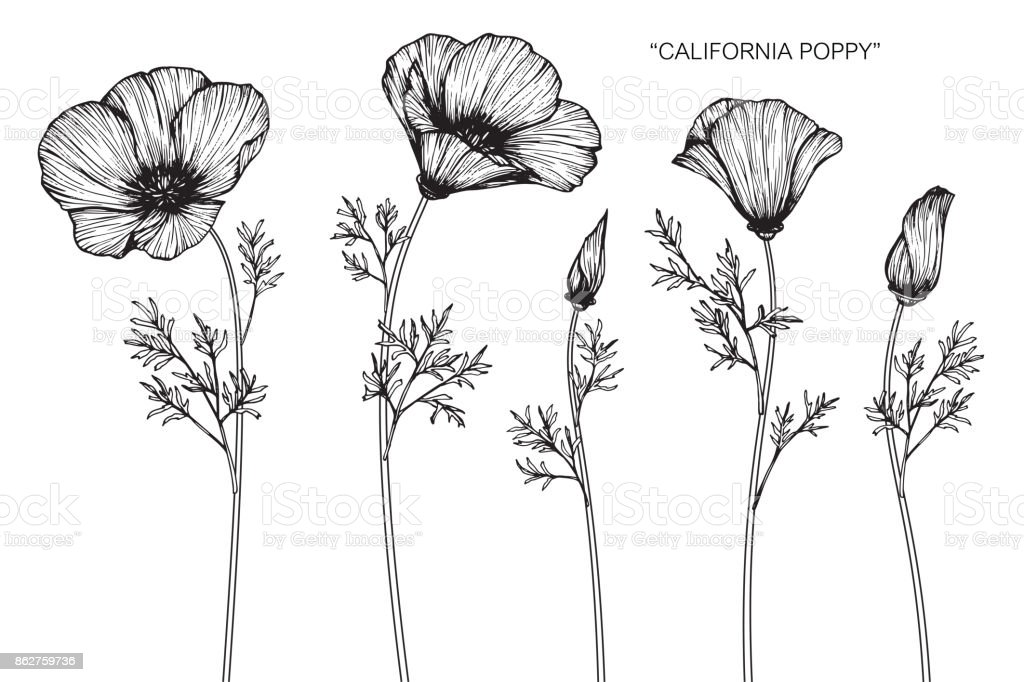 California poppy flower drawing stock vector art more images of california poppy flower drawing royalty free california poppy flower drawing stock vector art amp mightylinksfo Image collections