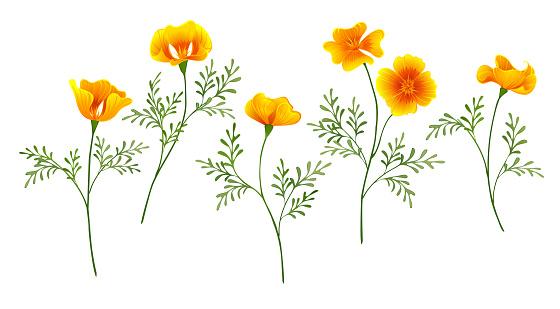 Set of yellow golden flowers California Poppy on white isolated background.