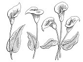 Calla flower graphic black white isolated sketch illustration vector