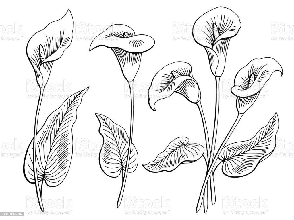 Calla fleur graphique noir blanc isolé esquisse illustration vecteur - Illustration vectorielle