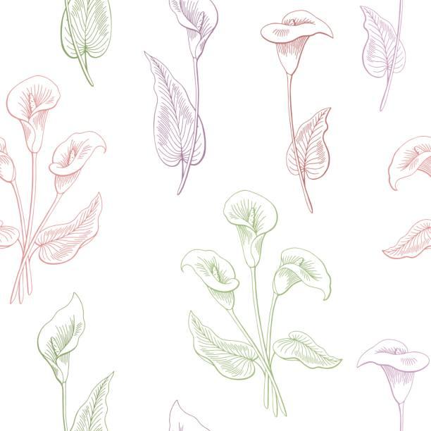 Calla fleur graphique couleur transparente esquisse illustration vecteur - Illustration vectorielle