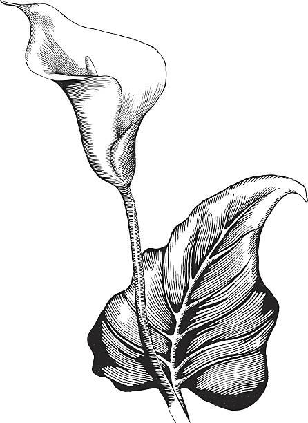 Calla Lilly - Illustration vectorielle