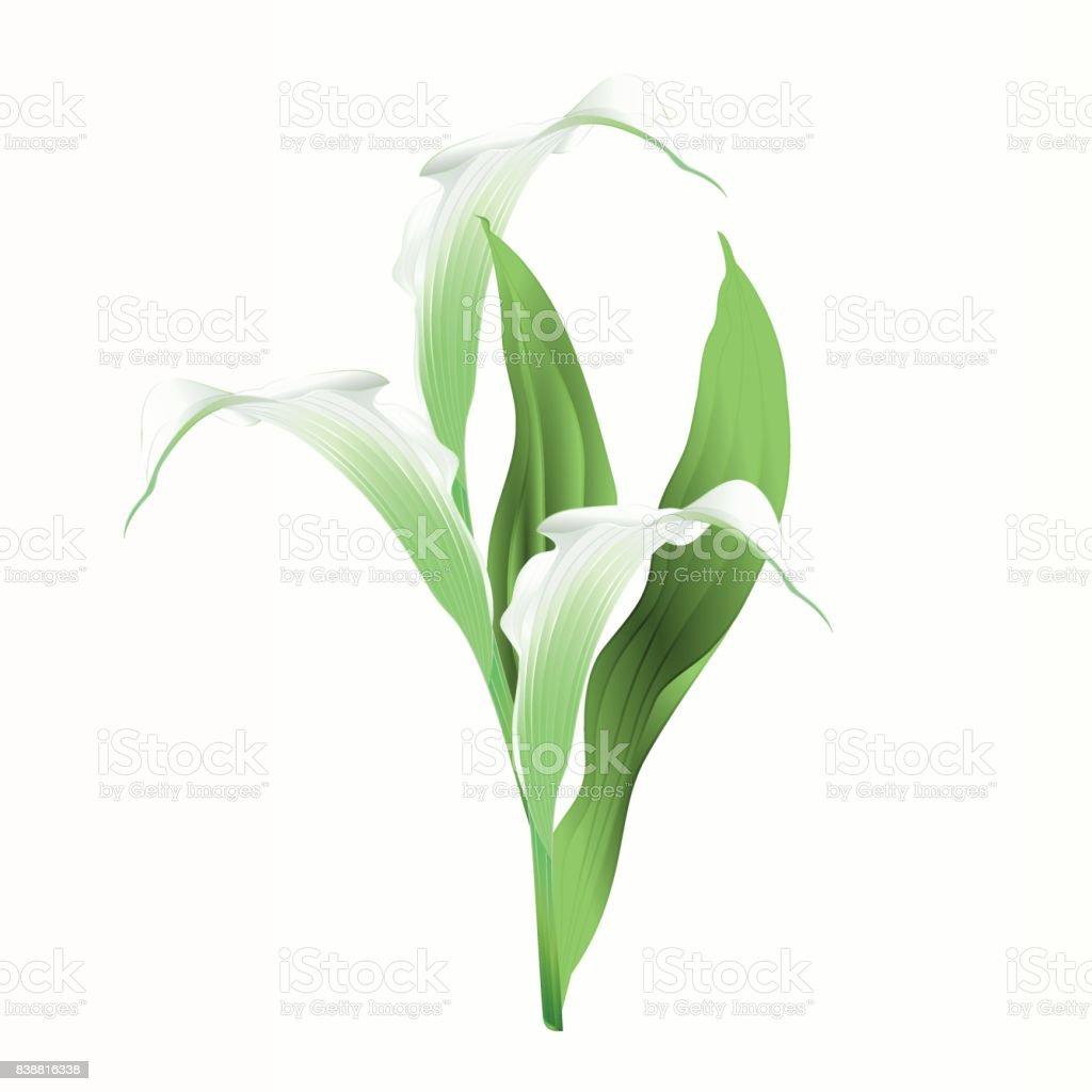 Calla lily blanc fleurs et feuilles des plantes ornementales herbacées vivaces illustration vectorielle vintage modifiable - Illustration vectorielle