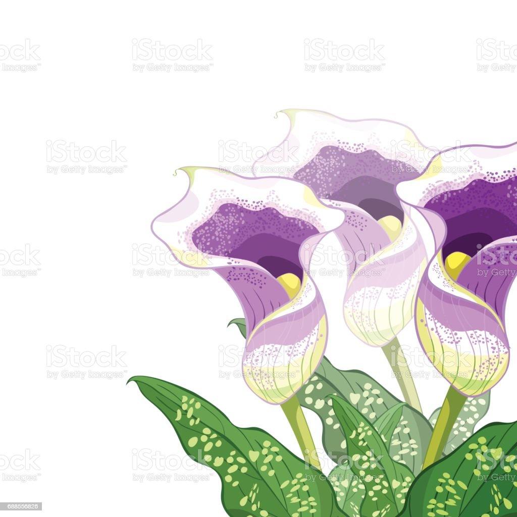 calla picasso un violet fleur illustration vectorielle – cliparts