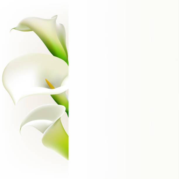 Callas. Fleurs. Floral fond. Blanc. Bouquet. Frontière. - Illustration vectorielle
