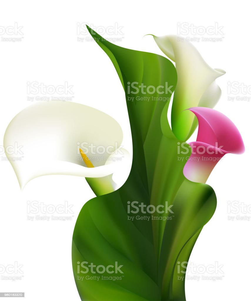 Callas white flowers floral background buds vector illustration white flowers floral background buds vector illustration isolated design mightylinksfo