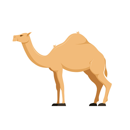 Camel in full growth. Mammal, family camelids, group cloven-hoofed animals