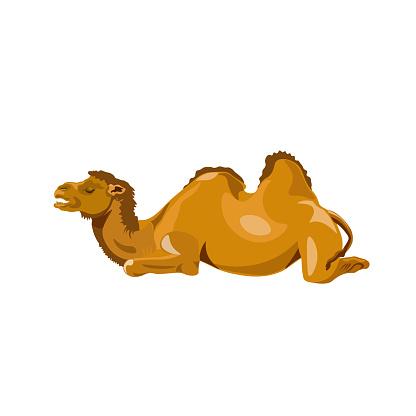 Camel lay down