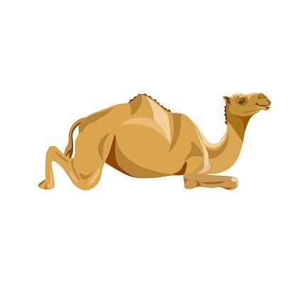 Camel lying vector