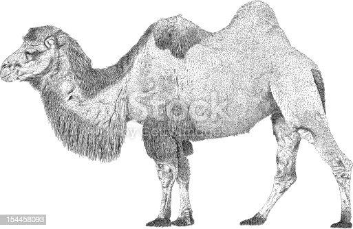 istock Camel 154458093