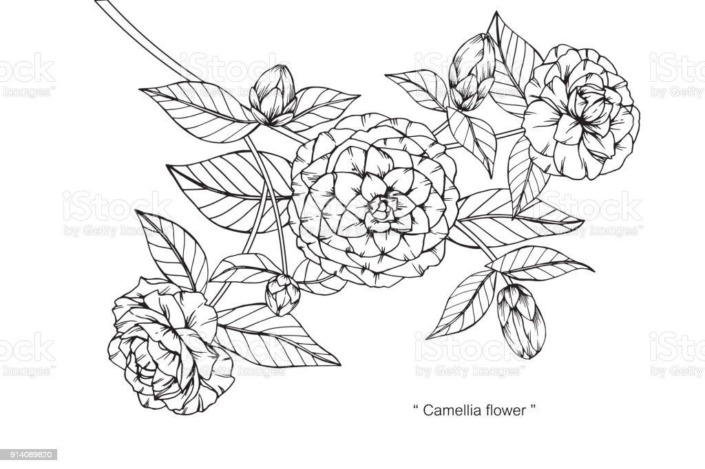 Fleur De Camelia De Dessin Cliparts Vectoriels Et Plus D Images De