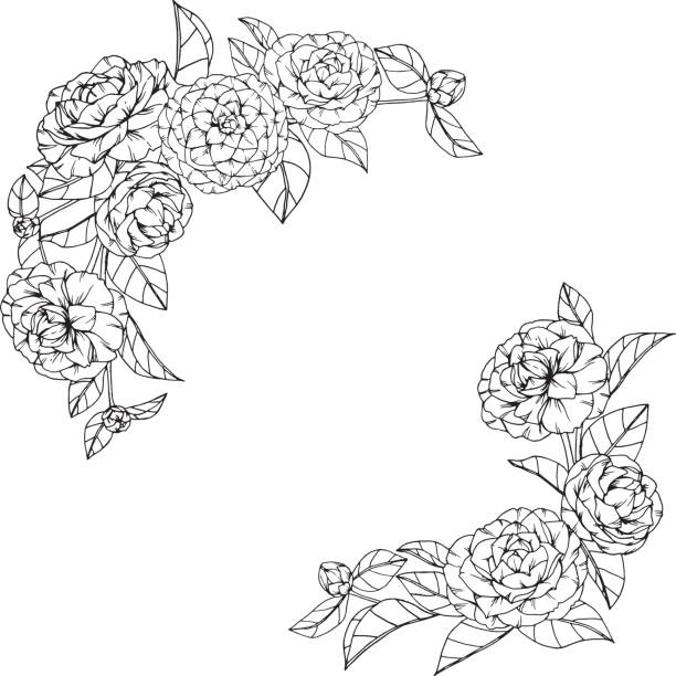 Camellia Flower Line Drawing : Royalty free flower tea clip art vector images