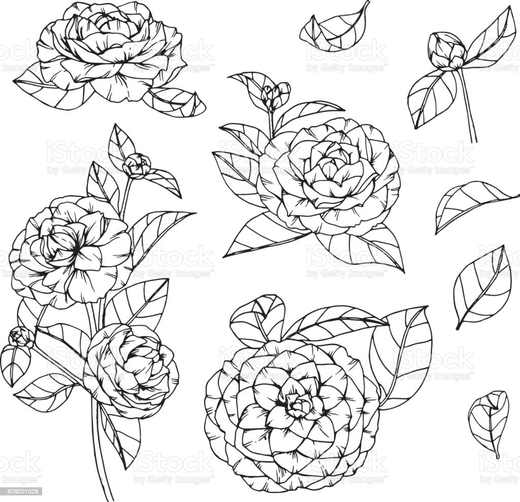 Camellia Flower Line Drawing : Camellia flowers drawing and sketch with lineart on white