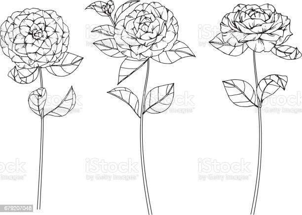 Free camellia flower Images, Pictures, and Royalty-Free