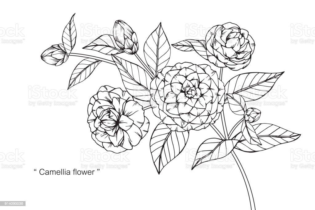 Fleur De Japonica Camelia De Dessin Cliparts Vectoriels Et Plus D