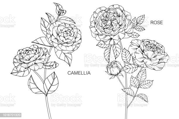 Camellia rose flower drawing illustration black and white with line vector id1016701320?b=1&k=6&m=1016701320&s=612x612&h=oibmyj0l mlzw3iy wu 8yl bhlo 1fozvvtbpagcaa=
