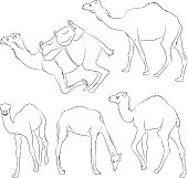 Camel's sketches