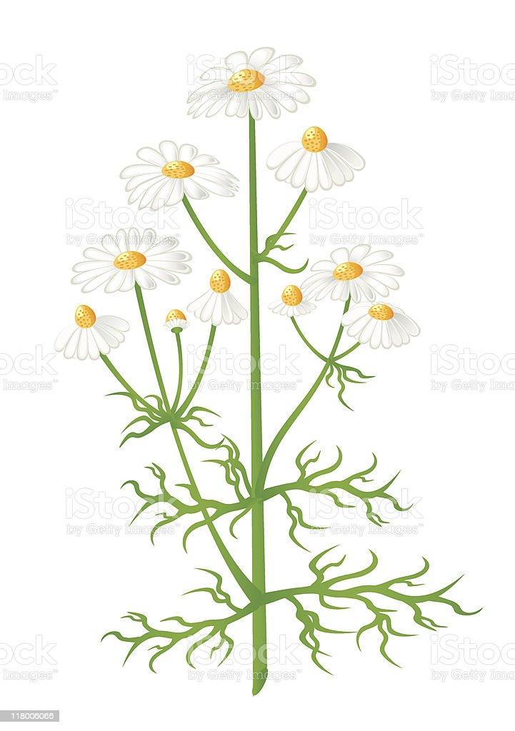 Camomile flowers vector art illustration