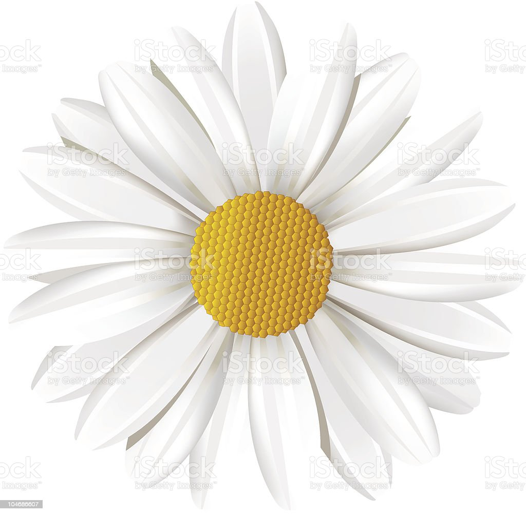 Camomile. royalty-free stock vector art