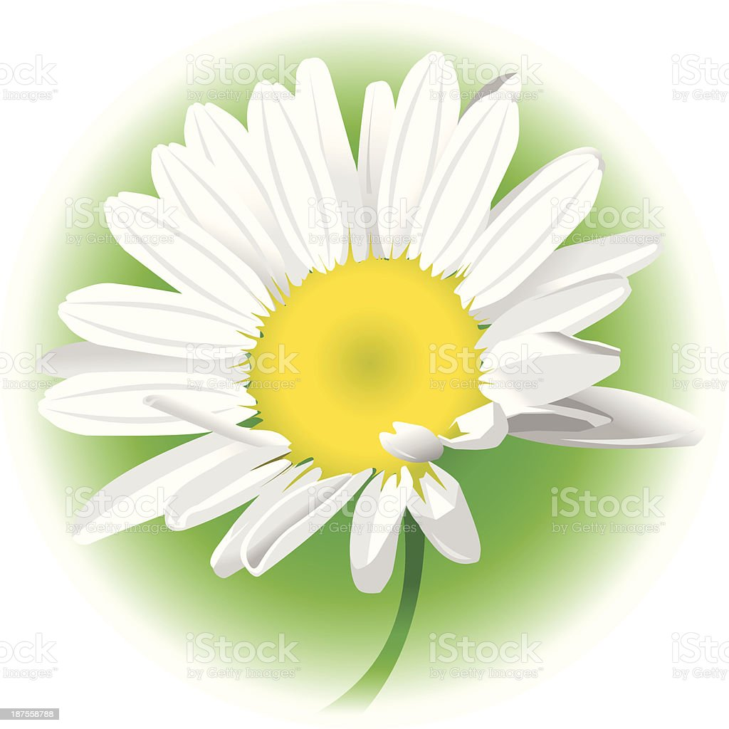 camomile vector art illustration