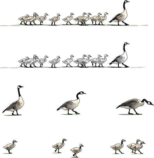 Canada Geese Design Elements Engraving style illustrations of Canada Geese aa adults and goslings. Looks great with type. canada goose stock illustrations