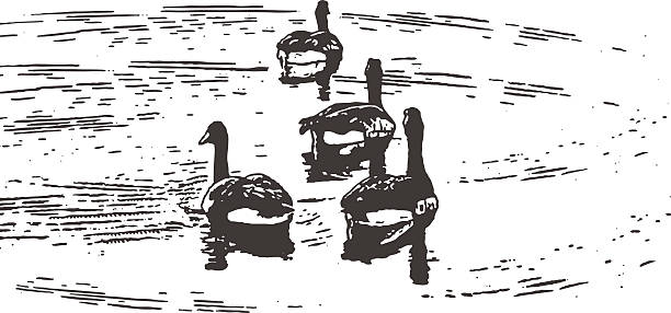 Canada Geese Floating On A Lake Pen and ink style illustration of 4 Canada Geese floating on a Minnesota lake. Isolated on white. canada goose stock illustrations