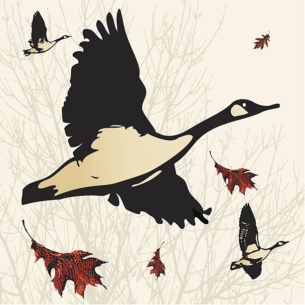 Canada Geese in Flight Canada Geese heading south for winter. canada goose stock illustrations