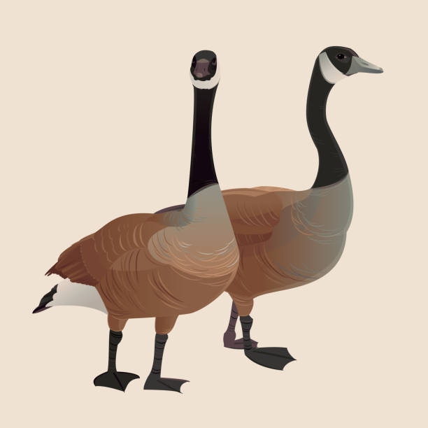Canada Geese vector art illustration