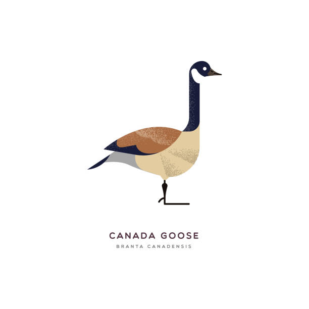 Canada goose duck bird isolated animal cartoon Canada goose animal illustration on isolated white background. Educational wildlife design with fauna species name label. canada goose stock illustrations