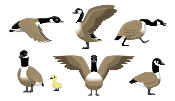 canada goose fliegen cartoon-vektor-illustration - gans vogel stock-grafiken, -clipart, -cartoons und -symbole