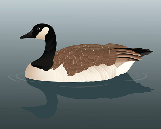 Canada Goose Vector illustration of a Canada Goose on a still pond background.  Goose and background/shadow are on separate layers and are easily separated.  Illustration uses linear gradients and gradient meshes.  Both .ai and AI8-compatible .eps formats are included, along with a high-res .jpg. canada goose stock illustrations